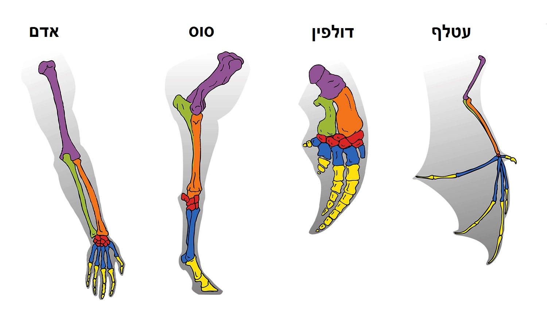 הומולוגייה בגפיים