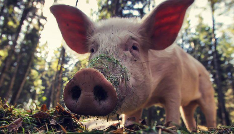 חזיר כשרות